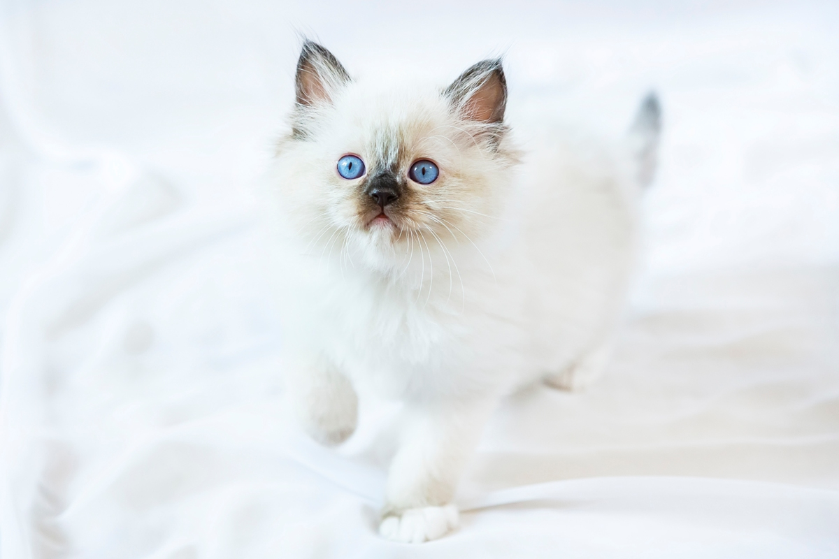 ragdoll kitten photo