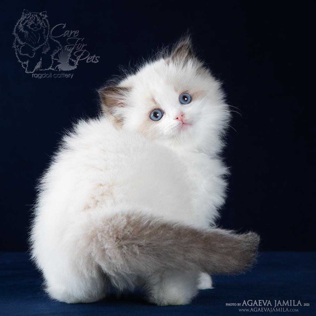 котенок рэгдолл  фото